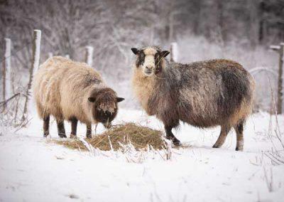 wyndelin-sheep-blurb-1857
