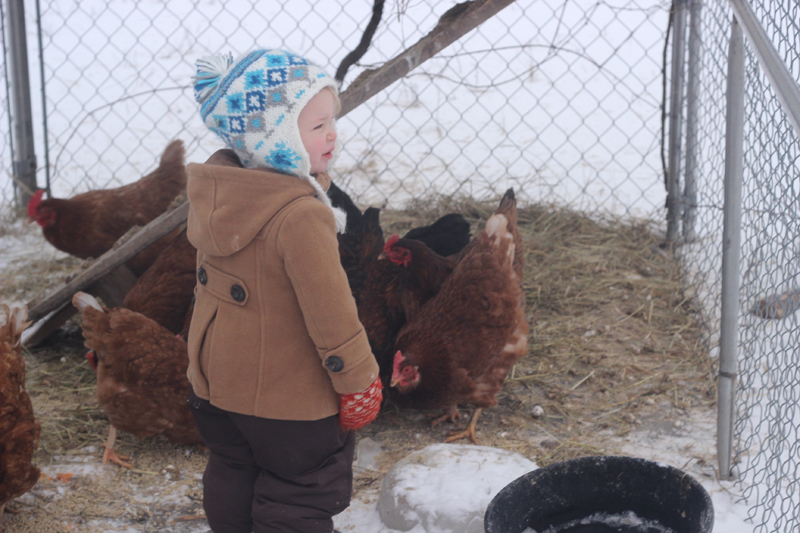 Kathleen loves the chickens and even has a couple that she is able to pick up and carry around. They were a little unsettled today because they are still getting used to the presence of little Penny. She shows no interest in chasing them at this point which is great!