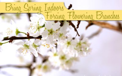 Bringing Spring Indoors: Forcing Flowering Branches